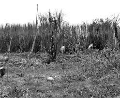 De la Hacienda al Ingenio: Una mirada a los procesos de esclavismo y desplazamiento poblacional negro entre 1775 – 1980 alrededor de la Hacienda Perico Negro, municipio de Puerto Tejada (Norte del Cauca).